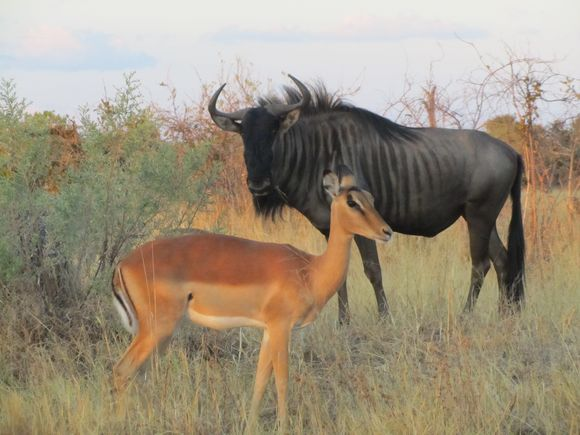 2013-05 Botswana Safari 194.JPG